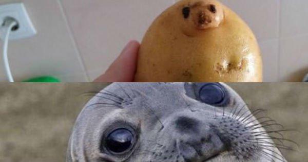 awkward seal potato