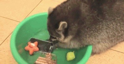"Raccoon washes phone – gif  ""I was dis for you"""