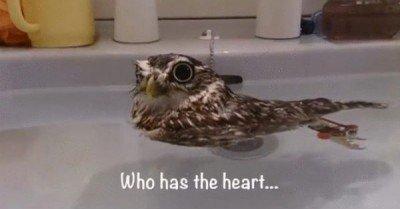 Duck owl – gif