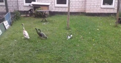 Kitten chases ducks – gif