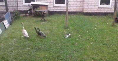 Kitten chases ducks – gif