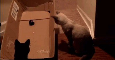 Cat laser pointer cardboard box down stairs – gif