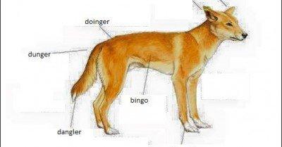 Dingo Anatomy – Dingers dunger