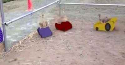 Baby Ostrich Race Cars – gif / video